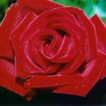 What's in a Name? A Rose by Any Other Name Smells Just as Sweet …